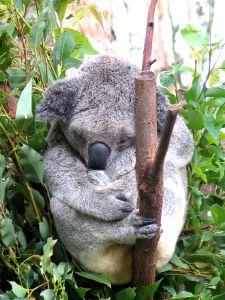 koalas-1-129044-m