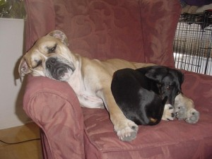 boxer-and-dachshund-asleep-in-a-chair_w725_h544