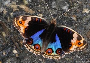 butterflies_5064146527