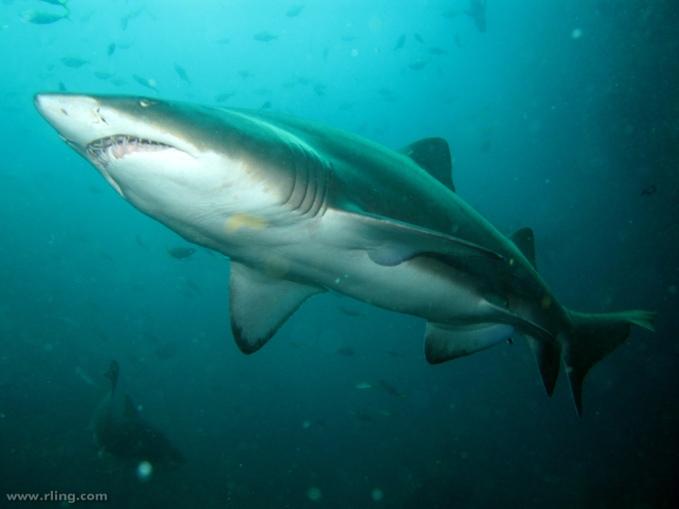 A Grey Nurse Shark (Carcharias taurus). Fish Rock Cave, South West Rocks, NSW