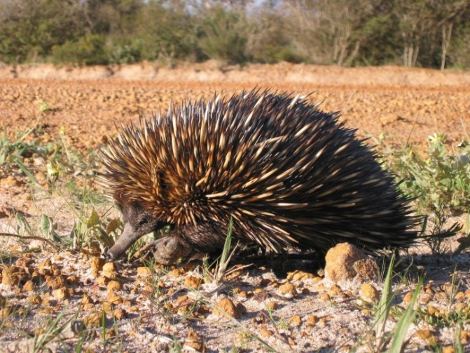 short-beaked-echidna-spiny-anteater-tachyglossus-aculeatus_w725_h544