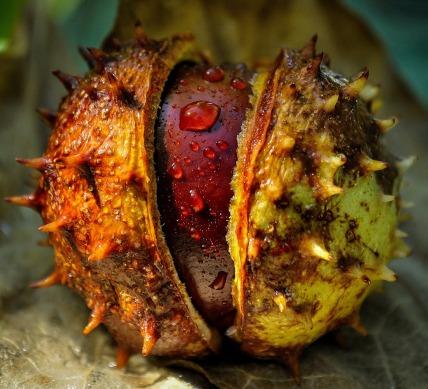 chestnut-411709_1280