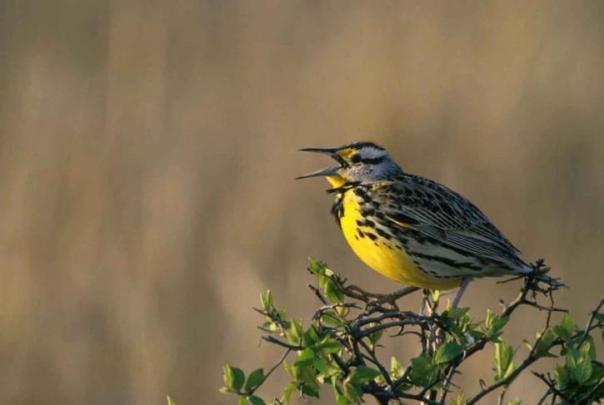 western-meadowlark-bird-sturnella-neglecta-725x487