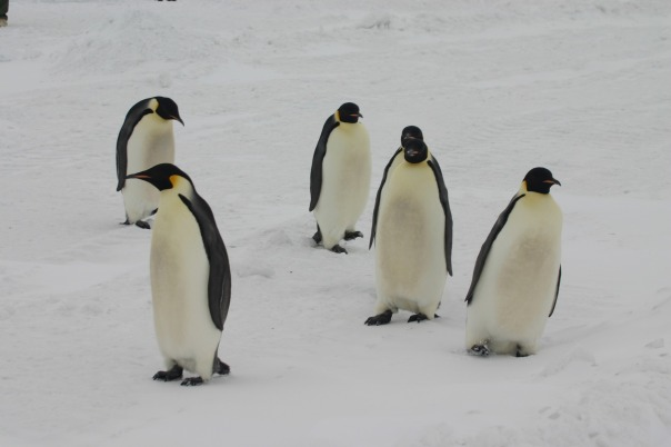 emperor-penguins-1221041_1920