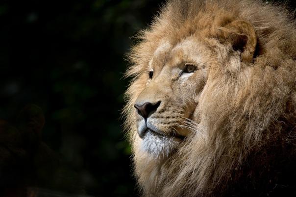 lion-1118467_1920