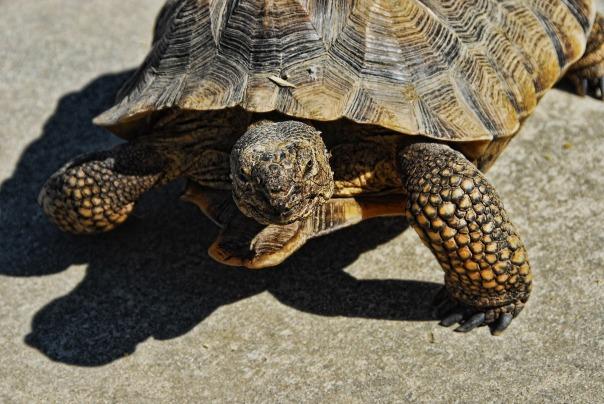 desert-tortoise-1232828_1920