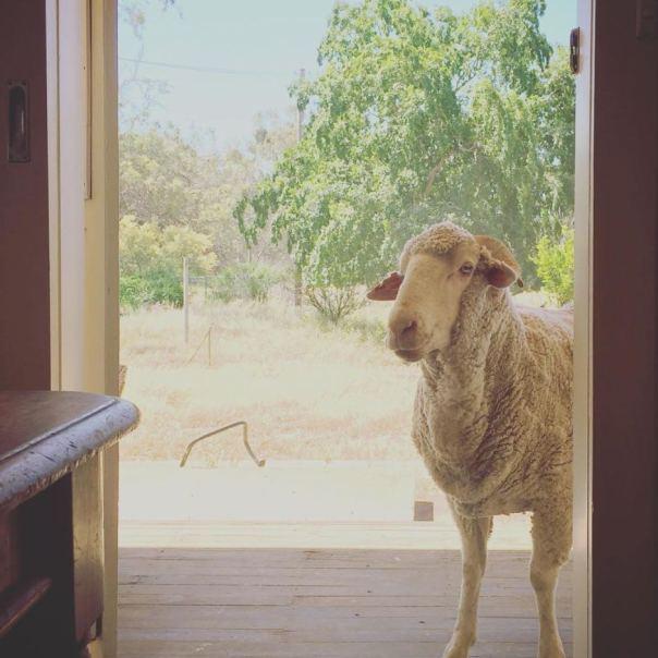 8084418-1x1-940x940-sheep