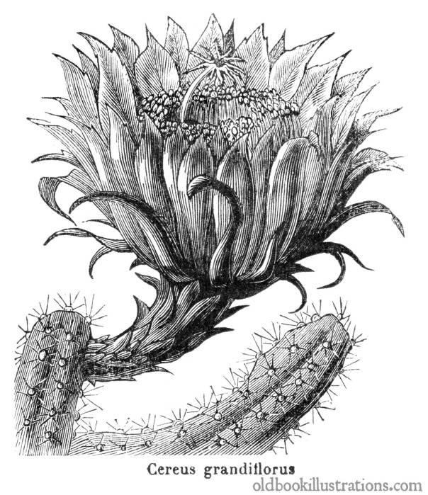 selenicereus-grandiflorus-1600