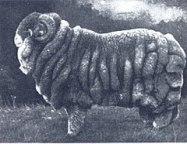 240px-Champion_Merino_ram_(1905)