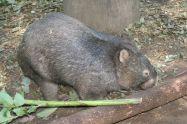 Wombat_at_Lone_Pine