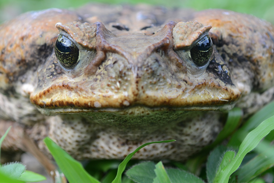 Flickr_-_ggallice_-_Cane_toad_portrait