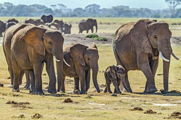 Herd_of_Elephants