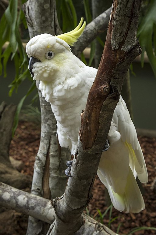 512px-White_Cockatoo_Australia_Zoo-1_(17967728690)